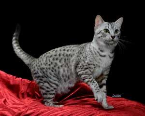 best short hair cats